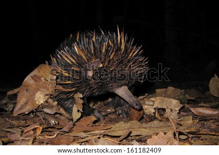 Baby echidna in the wild - stock photo