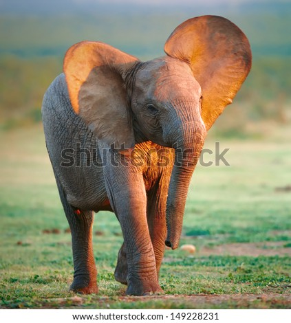 Baby Elephant  - stock photo