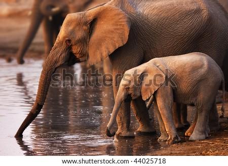 Baby elephant and cow drinking water ; Etosha - stock photo