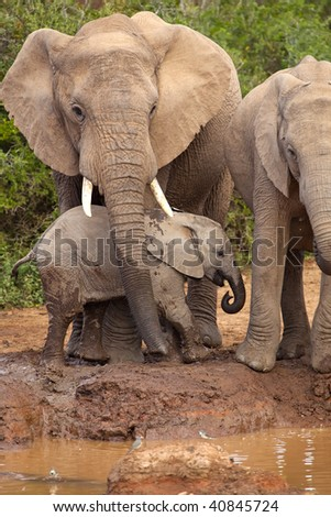 Baby elephant being protected by its mother - stock photo