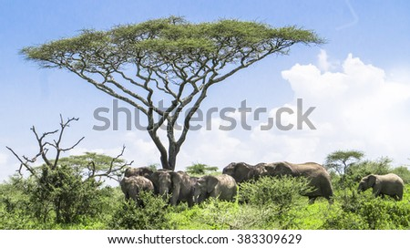 baby elephant catching up with it's herd of elephants standing under an Acacia tree on the Serengeti Savannah landscape   - stock photo