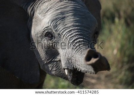 Baby Elephant close up