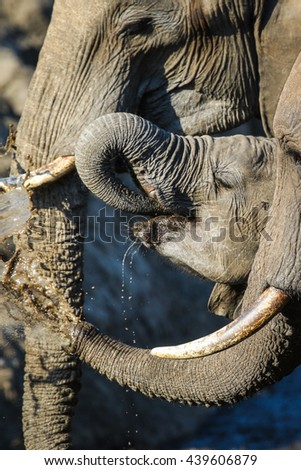Baby elephant drinking water with parents, Kruger National Park - stock photo