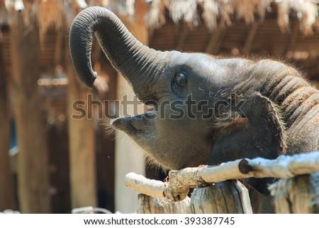 Baby elephant, elephant-Thailand Elephant Conservation Center, Lampang Thailand. - stock photo