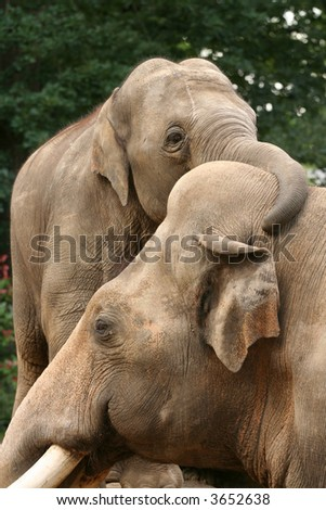 Baby elephant hugging his dad - stock photo
