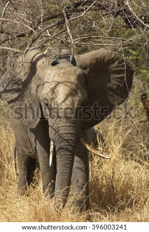 Baby elephant in Kruger Park - stock photo