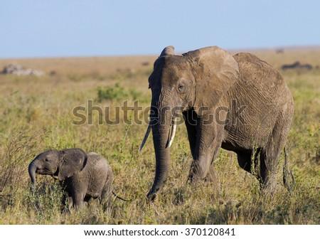 Baby elephant it goes close to his mother. Africa. Kenya. Tanzania. Serengeti. Maasai Mara. An excellent illustration. - stock photo