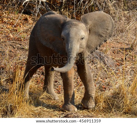 Baby elephant, Kruger - stock photo