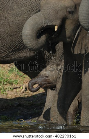 Baby elephant learning to drink water with its trunk, Botswana