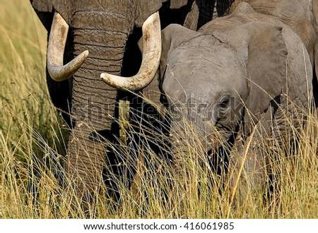 Baby elephant next to Mums large tusks in the Masai Mara - stock photo
