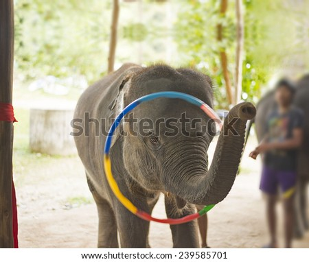 Baby Elephant plays hula hoop . renowned for its impressive Elephant and Thai Cultural Shows. Summer time show for people on arena  - stock photo