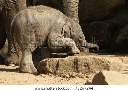 Baby elephant reaching with its trunk for water
