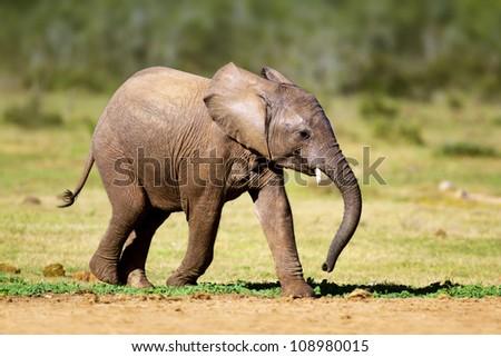 Baby Elephant running - Addo National Park - stock photo