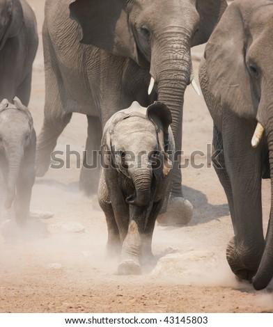 Baby Elephant running amongst herd ; Loxodonta Africana; Etosha - stock photo