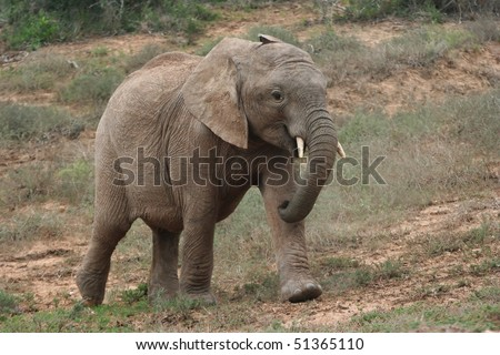 Baby elephant running in the wild to its mother - stock photo
