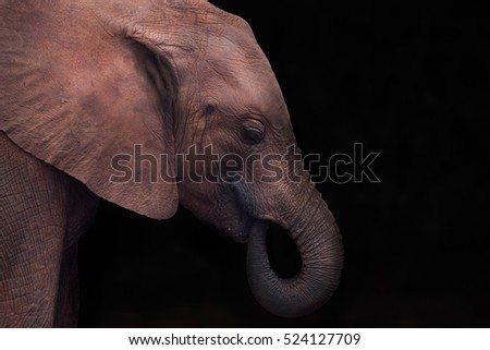 Baby elephant side view close up with black background
