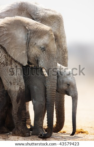 Baby elephant stand protected between cow and bull; Loxodonta Africana; Etosha - stock photo