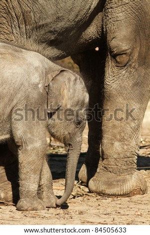 Baby elephant standing next to its mother