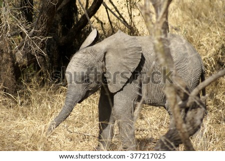 Baby elephant stands in a patch of dry grass in Kruger National Park - stock photo