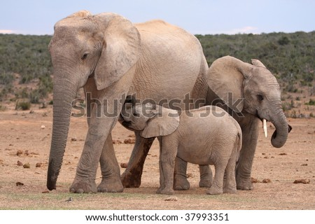 Baby elephant suckling from it's mother while brother stands by - stock photo