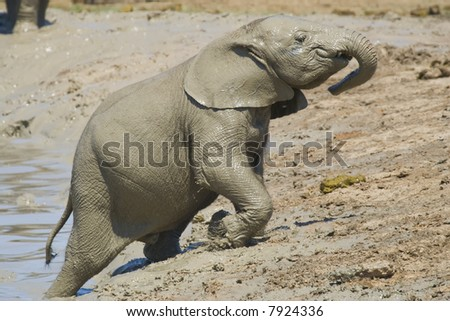 Baby elephant trying to climb out of the mud pit - stock photo