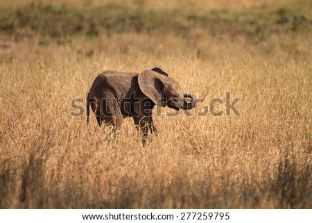 Baby elephant walking - stock photo