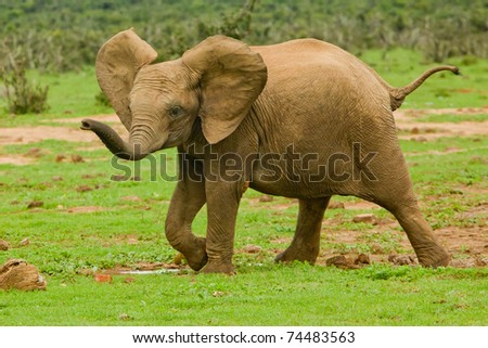 Baby elephant walking around looking for its mother - stock photo