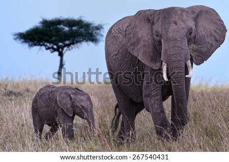 Baby elephant with its mother in the Masai Mara Nature Reserve in Africa - stock photo