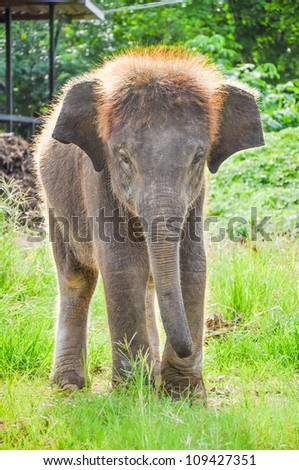 Baby  elephant  working in in the meadow at Kanchanaburi Elephant Camp, Thailand. - stock photo