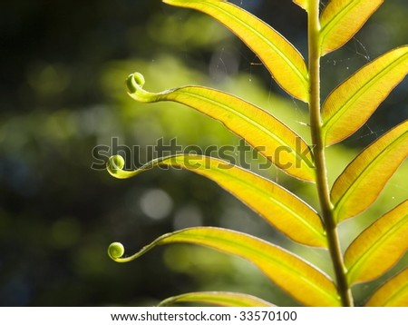 Baby fern leaf unfolding - stock photo