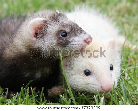 Baby ferret siblings on the grass.