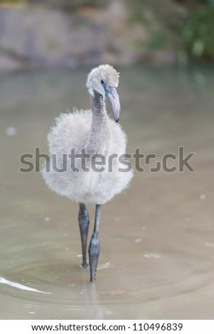 Baby flamingo - stock photo