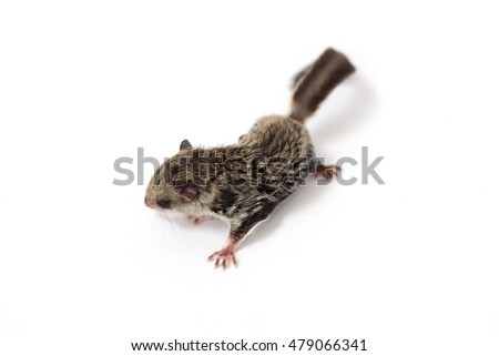 Baby flying Lemur (Galeopterus variegatus) on White background