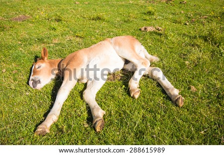 Baby foal sleeping on the meadow - stock photo