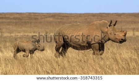 Baby following mother rhino in African landscape - stock photo