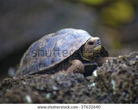 Baby Galapagos Island Tortoise - stock photo