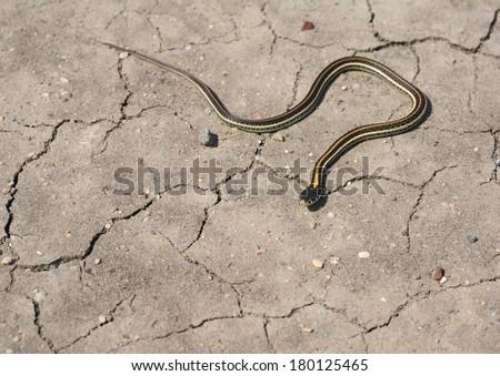 Baby garter snake crossing a Saskatchewan road - stock photo