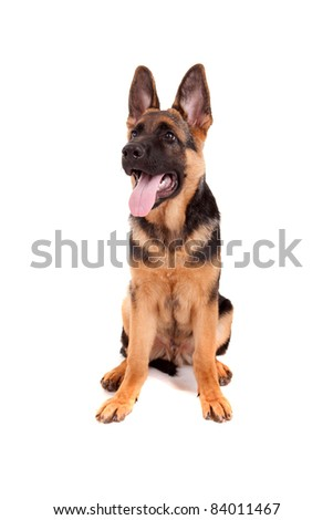 Baby german shepherd isolated over a white background - stock photo