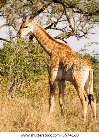 Baby giraffe feeding from sapling - Mkuze game reserve. - stock photo