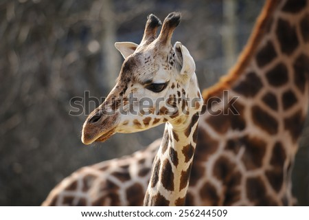Baby giraffe head close to adult one from closeup view - stock photo