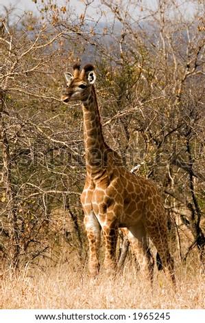 Baby giraffe in kruger national park - stock photo