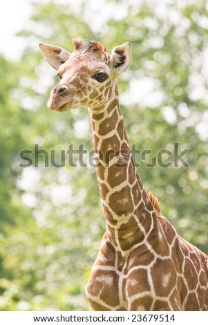 Baby giraffe looking curious what is happening around - stock photo