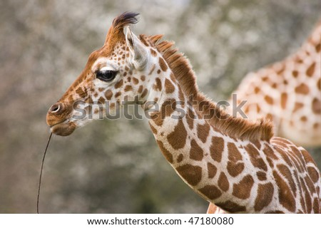 Baby giraffe playing with wooden stick - horizontal image