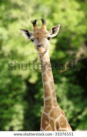 baby giraffe portrait over blur green background - stock photo