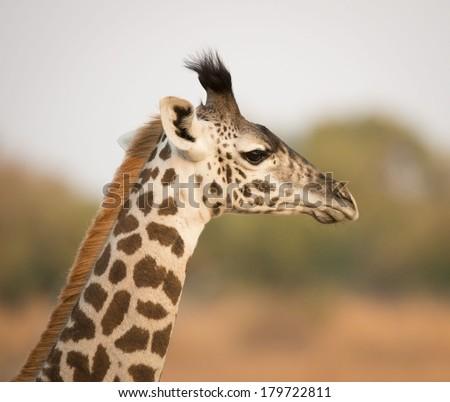Giraffe Profile Baby g...