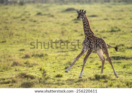 baby giraffe running in the Masai Mara - stock photo