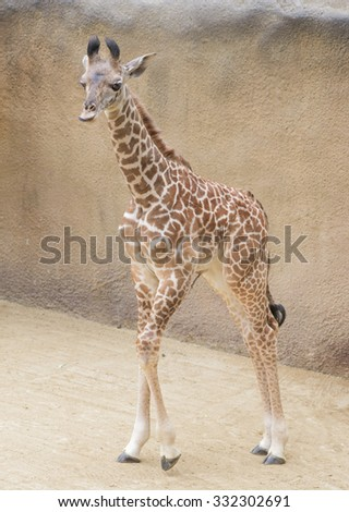 Baby Giraffe taking a walk - stock photo