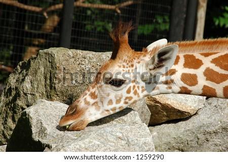 Baby giraffes resting head on some rocks (more giraffe photos in gallery) - stock photo