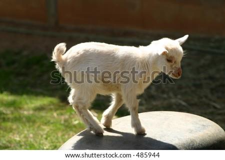 Baby Goat - stock photo