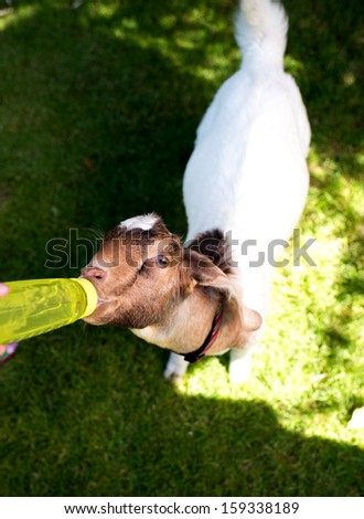 Baby Goat Drinking Water from Bottle on Hot Summer Day - stock photo